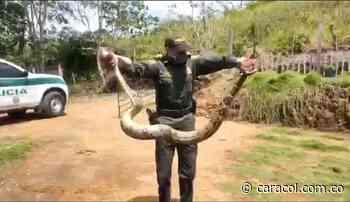 Recuperadas dos serpientes de gran tamaño en Victoria - Caracol Radio