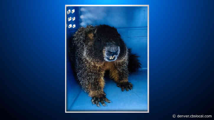 Marmot Rescued Outside Steakhouse In Englewood After 'Hitchhiking' From Mountains