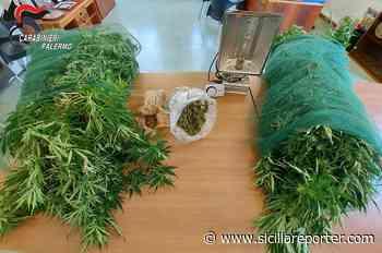 Partinico, sequestrata piantagione di cannabis: arrestato 30enne - Sicilia Reporter