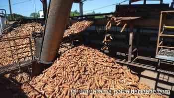 Colheita de mandioca acelera e reduz ociosidade da indústria em Umuarama - ® Portal da Cidade | Umuarama