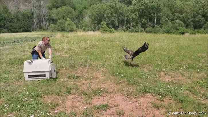 Golden Eagle Released Back Into The Wild After Rehab For Injuries That Left Bird Near Death