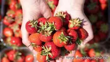 Diebe stehlen rund 90 Kilogramm Erdbeeren - Süddeutsche Zeitung