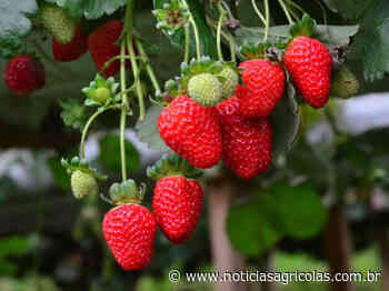 Produção de morangos está em excelente qualidade na região de Pelotas (RS) - Notícias Agrícolas