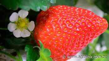 RS: produção de morangos está em excelente qualidade na região de Pelotas - Agrolink