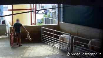 Crudeltà e orrore in un macello di Cremona, la video-inchiesta - Video - La Stampa