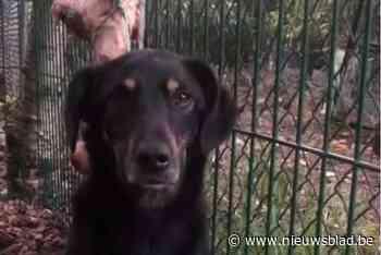 Ongrijpbare hond uit Eindhoven na 52 dagen toch gevangen in Houthalen-Helchteren - Het Nieuwsblad