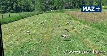 Störche sammeln sich auf den Luchwiesen bei Kremmen - Märkische Allgemeine Zeitung