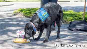 Calgary victim assistance dog, Hawk, retires from duty - CTV Toronto