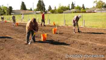 Calgary Lions club members planting 5000 trees this spring - CTV Toronto