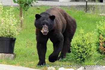Conservation seeking information for deceased Comox Valley bear – Comox Valley Record - Comox Valley Record