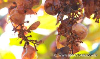Morcegos destroem parreiral de uvas em Sorriso e causam prejuízo de cerca de R$ 30 mil - Só Notícias