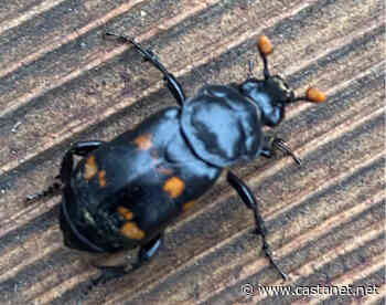 Margined Burying Beetle spotted in Lake Country feeds on dead animals - Vernon News - Castanet.net