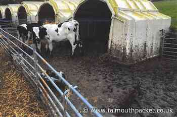 Farmer Simon Philip Stansfield banned from keeping animals - Falmouth Packet