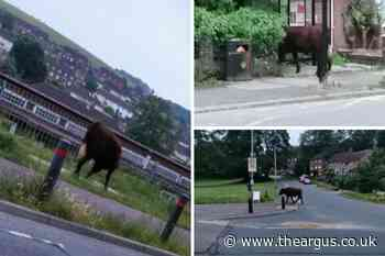 Pictures: Cow seen walking through Lower Bevendean