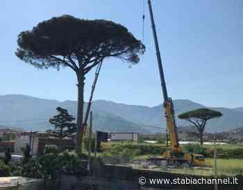 Gragnano - Pino in fase di abbattimento, la rabbia di un cittadino: «Il nostro territorio si sta depauperando» - StabiaChannel.it