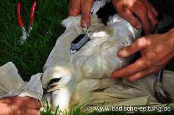 Junger Storch mit Sender ausgestattet - Kandern - Badische Zeitung