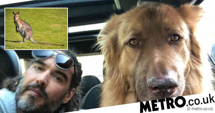 Russell Brand 'devastated' after dog kills wallaby in 'horrible accident'