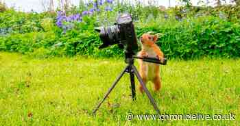 Curious red squirrels caught playing with Coquetdale photographer's camera