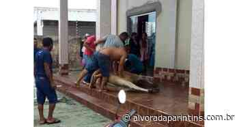 Vídeo: Vaca invade distribuidora em Parintins - Alvorada Parintins