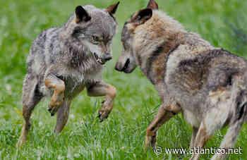 Galicia llama al Gobierno a retirar el veto a cazar lobos - Diario Atlántico