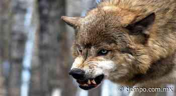 Viral: captan lobos actores peleando con intérpretes de teatro - El Tiempo de México