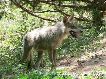 La prohibición de cazar lobos podría entrar en vigor antes del 25 de septiembre - Zamora News