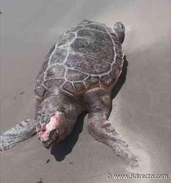 Encuentran una tortuga boba muerta en la playa de Puente Mayorga - 8directo - La Calle Real