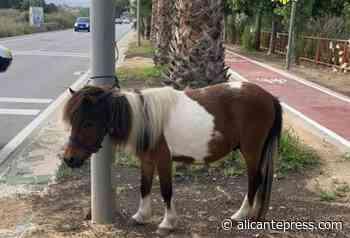 La Policía encuentra un poni perdido en la playa de San Juan - Alicantepress.com