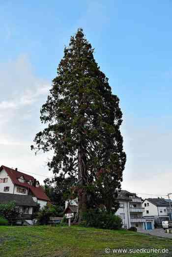 Rheinfelden: Wie kann man dem Baumriesen in Eichsel helfen, der unter Trockenstress leidet? - SÜDKURIER Online