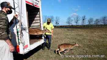 Trasladaron a un santuario natural cinco ciervos, a los que tenían como mascotas - Actualidad | La Gaceta - LA GACETA