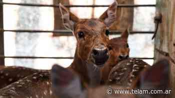 Trasladaron a un santuario natural a cinco ciervos que eran mantenidos como mascotas - Télam