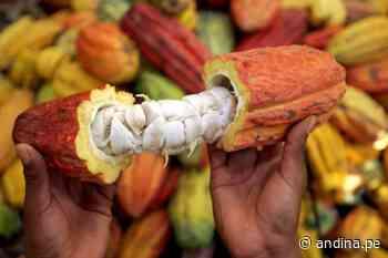 Amazonía resiliente: cacao orgánico impulsa desarrollo sostenible en Santuario Megantoni - Agencia Andina