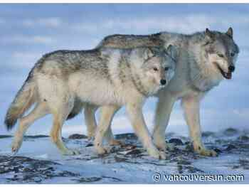 Culling cutlines, not wolves, key to preserving caribou herds: researcher