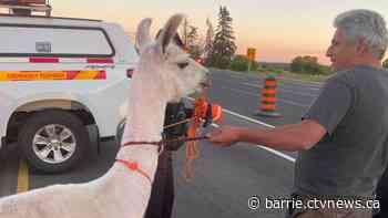 Unique sighting as llama strolls along Hwy 400 near King City - CTV Toronto