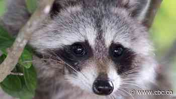 With clock ticking, doctors, pharmacists come to the rescue after 1-year-old eats raccoon feces