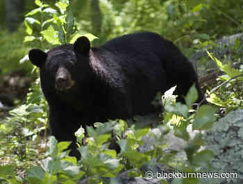 16 bear sightings reported in Lambton Shores - BlackburnNews.com