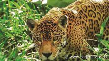 Jaguares siembran el temor en Pailón, Santa Cruz - Pagina Siete