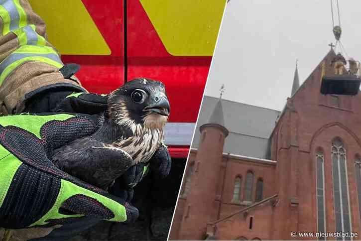 Brandweer moet torenvalk redden uit kerktoren in Ronse