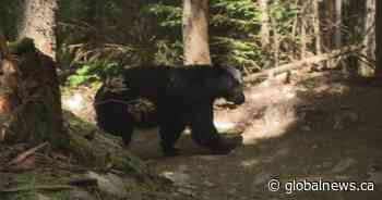 Call for more bear education in Whistler as community gears up for return of tourists