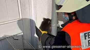 Feuerwehr Pohlheim rettet an Grundschule eingeklemmten Waschbär - Gießener Allgemeine