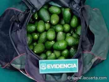 Los pillaron cargados: detienen a sujetos que robaron 60 kilos de palta en La Calera - La Cuarta