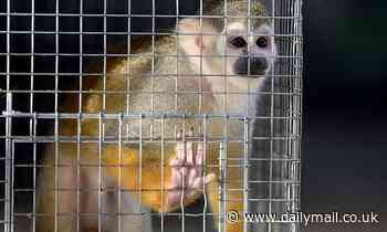 New rules for pet monkey owners forcing them to build zoo-quality cages 'could see many euthanised'