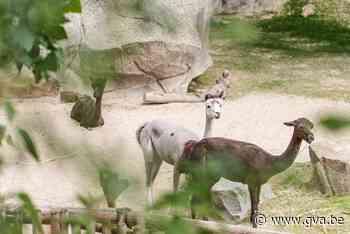 Alpaca's verhuizen van Planckendael naar Antwerpen - Gazet van Antwerpen
