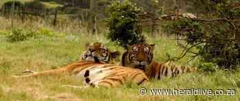Department probe to decide fate of Jasper the tiger - HeraldLIVE