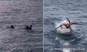 Great white shark swallows bird whole in South Australia