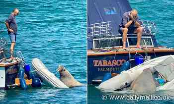 Wally wreaks havoc! Wandering walrus' upsets locals on the Isles of Scilly
