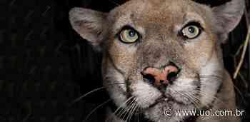 Moradores de Hollywood aprendem a conviver com leão da montanha - UOL