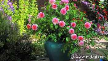 Trucos para cultivar rosas perfectas en nuestro jardín - MDZ Online