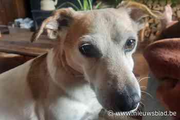 Grootschalige zoektocht naar hondje Kira dat verdween in Hazewinkel