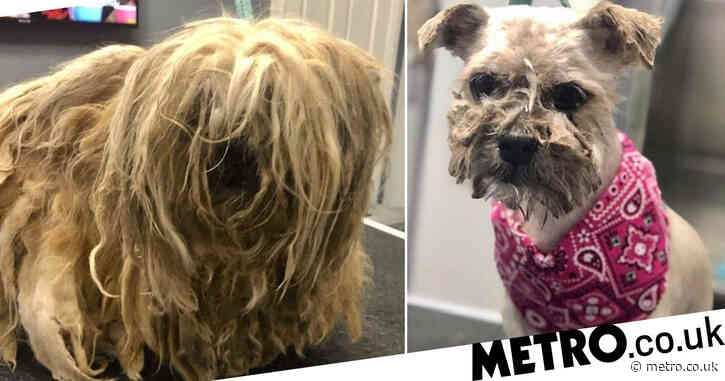 Dog found with so much matted hair she could barely move gets a transformation